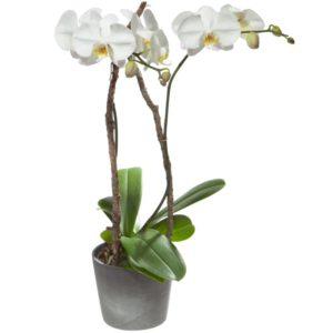 "Ordina ""Orchidea bianca"""