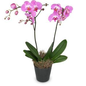 """Ordina """"Orchidea rosa"""""""